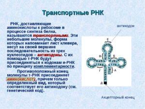 ТРАНСПОРТНЫЕ   РИБОНУКЛЕИНОВЫЕ КИСЛОТЫ