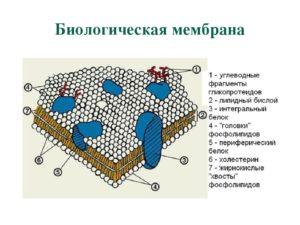 Мембраны биологические