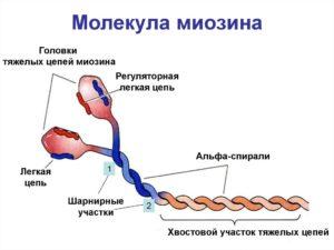 Миозин
