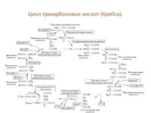 Трикарбоновых кислот цикл